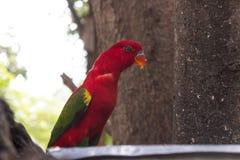 Schöner roter Papageienvogel stockbild