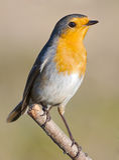 Schöner roter Vogel stockfoto