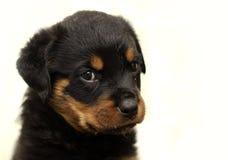 Schöner Rottweiler-Welpe, altern sechs Wochen Stockfotografie