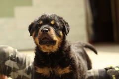 Schöner Rottweiler-Welpe, altern sechs Wochen Lizenzfreie Stockfotografie