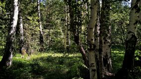 Schöner russischer Frühlingswald an einem sonnigen Tag lizenzfreie stockbilder