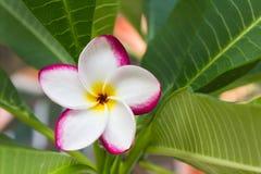 Schöner süßer weißer rosa gelber Blume Plumeria im Hausgarten Stockbild