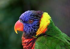 Schöner, sauberer, freier Schuß des bunten Papageien Lizenzfreies Stockfoto