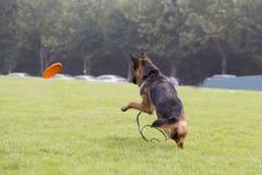 Schöner Schäferhund-Hund Stockbild