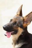 Schöner Schäferhund-Hund Lizenzfreie Stockfotografie
