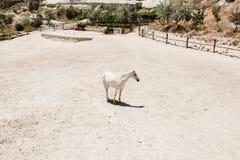Schöner Schimmel geht in eingezäunten Bereich vor dem hintergrund anderer Pferde in den nahen Hügeln und der grünen Bäume auf son Stockbilder