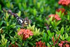 Schöner Schmetterling Lizenzfreies Stockfoto