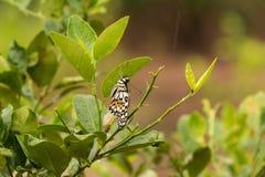 Schöner Schmetterling Stockfotos