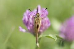 Schöner Schmetterling auf einer purpurroten Blume Stockbild