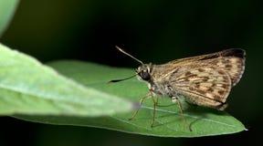 Schöner Schmetterling, Birmane bürsten Ace, Onryza-meiktila Stockfotografie