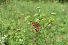 Schöner Schmetterling - das Gedächtnis des letzten Sommers Lizenzfreie Stockfotos