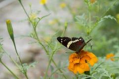 Schöner Schmetterling, der über eine orange Dahlie legt Stockbild