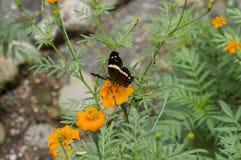 Schöner Schmetterling, der über eine orange Dahlie legt Stockfotos