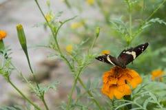 Schöner Schmetterling, der über eine orange Dahlie legt Lizenzfreies Stockfoto