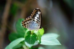 Schöner Schmetterling, der auf Blatt sitzt Lizenzfreies Stockfoto