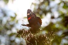 Schöner Schmetterling, der auf eine Blume einzieht stockbild