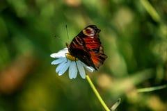 Schöner Schmetterling, der auf einem Gänseblümchengrün bokeh sitzt Stockfotografie