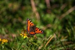 Schöner Schmetterling, der auf einem Gänseblümchengrün bokeh sitzt Lizenzfreie Stockbilder