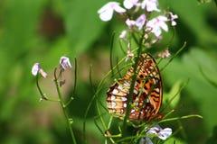 Schöner Schmetterling, der auf einem Gebiet von Wildflowers sich entspannt Lizenzfreies Stockfoto