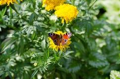 Schöner Schmetterling, der auf einem gelben Blumengrünhintergrund sitzt Lizenzfreies Stockbild