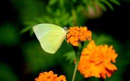 Schöner Schmetterling, der auf einer gelben Blume in einem Garten in Indien sitzt Stockbild