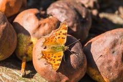 Schöner Schmetterling, der auf faule Birnen sitzt Baum auf dem Gebiet stockbilder