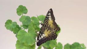Schöner Schmetterling, der oben auf der Blume, Abschluss des großen Schmetterlinges sitzt auf grünen Blättern, Insekt im Naturleb stock footage