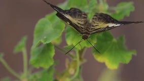 Schöner Schmetterling, der oben auf der Blume, Abschluss des großen Schmetterlinges sitzt auf grünen Blättern, Insekt im Naturleb stock video