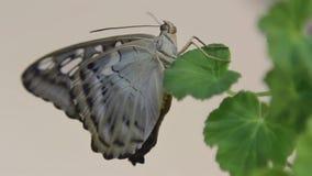 Schöner Schmetterling, der oben auf der Blume, Abschluss des großen Schmetterlinges sitzt auf grünen Blättern, Insekt im Naturleb stock video footage