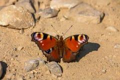 Schöner Schmetterling, der tagsüber aus den Grund sitzt Stockbilder