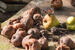 Schöner Schmetterling des roten Admirals, der auf faule Birnen sitzt Baum auf dem Gebiet stockfoto