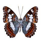 Schöner Schmetterling, gemeiner Kommandant (moduza procris) unter Gewinn lizenzfreies stockfoto