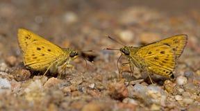 Schöner Schmetterling, goldenes Ace, Thoressa-masoni Stockfoto