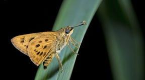 Schöner Schmetterling, goldenes Ace, Thoressa-masoni Stockfotografie