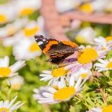 Schöner Schmetterling mit den orange und weißen Stellen auf Flügeln auf weißer Blüte Stockfotos