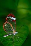 Schöner Schmetterling, Nero Glasswing, Greta-nero, Nahaufnahme des transparenten Glasflügelschmetterlinges auf grünen Blättern Sz Stockbild
