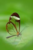 Schöner Schmetterling, Nero Glasswing, Greta-nero, Nahaufnahme des transparenten Glasflügelschmetterlinges auf grünen Blättern Sz Lizenzfreie Stockfotografie