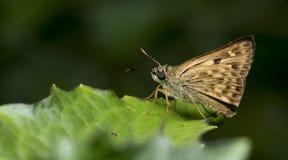 Schöner Schmetterling, siamesische Bürste Ace, Onryza-siamica Stockbilder