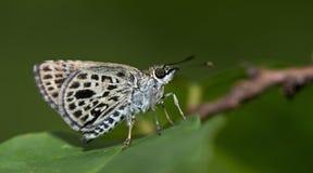 Schöner Schmetterling, Silber-Brust Ace, Sovia-albipecta Stockfoto