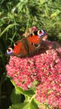 Schöner Schmetterling sitzt auf einem blühenden Busch spectabile Hylotelephium Stockbilder