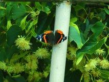 Schöner Schmetterling Vanessa Atalanta Lizenzfreies Stockbild