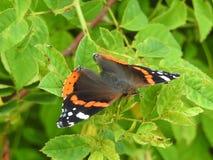 Schöner Schmetterling Vanessa Atalanta Lizenzfreies Stockfoto