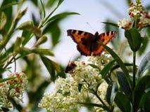 Schöner Schmetterling Vanessa Atalanta und eine Biene Stockfotografie