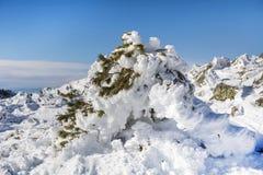 Schöner Schnee bedeckte Kiefer Stockbilder