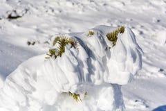 Schöner Schnee bedeckte Kiefer Lizenzfreie Stockbilder