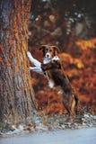 Schöner Schokoladenborder collie-Welpe setzte Tatzen auf einen Baum Lizenzfreie Stockfotografie