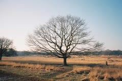 Schöner Schuss eines bloßen Baums auf einem Gebiet mit dem Überraschen des klaren blauen Himmels stockfoto