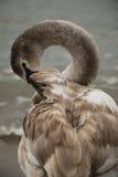 Schöner Schwan auf dem Strand Stockfoto