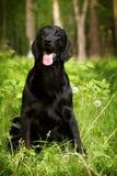 Schöner schwarzer Hundflach-überzogener Retrieversommer in der Natur Stockfotos