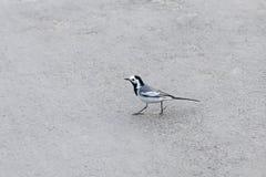 Schöner Schwarzweiss-Vogel, Mann der weißen Bachstelze, Motacilla alba Lizenzfreies Stockfoto